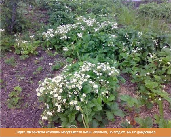 Сорта-засорители клубники могут цвести очень обильно, но ягод от них не дождёшься