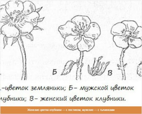 Женские цветки клубники — с пестиком, мужские — с тычинками