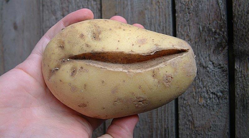 Почему трескается картофель в земле