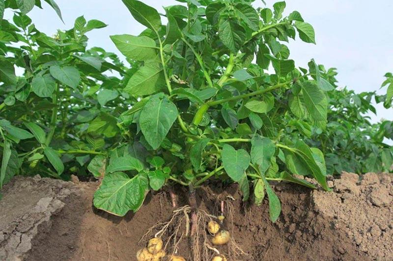 Подкормка картофеля в июле
