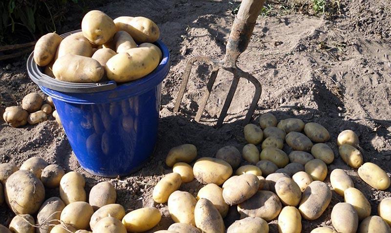 Убираем картофель: когда и как это лучше сделать