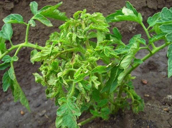 скрученные листья томата