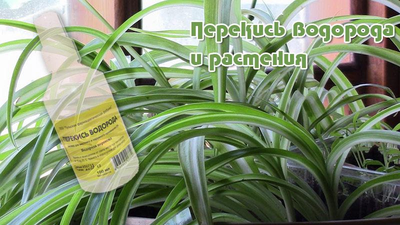 Перекись водорода помогает защищать садовые растения от заболеваний