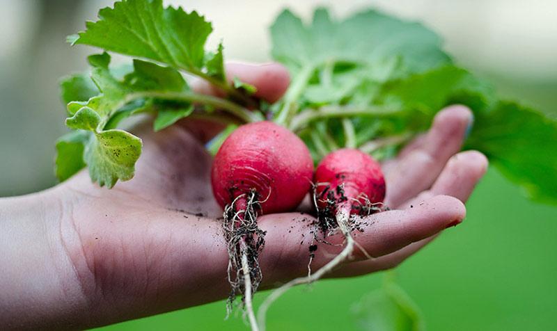 Выращивание редиса в марте в теплице