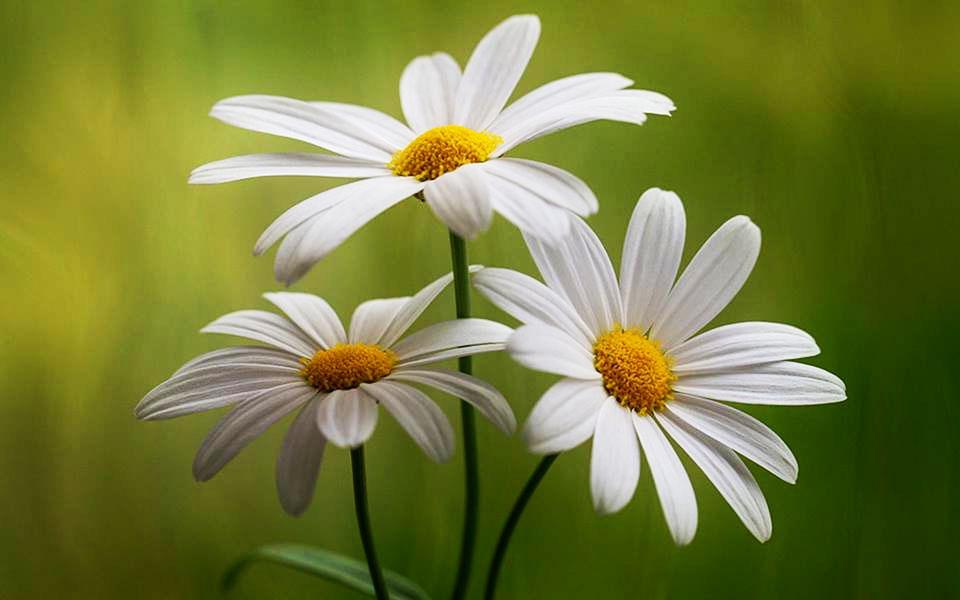 Цветы, похожие на ромашку
