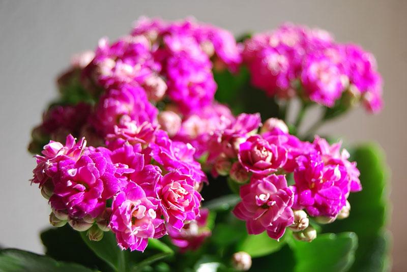Почему каланхоэ не цветет