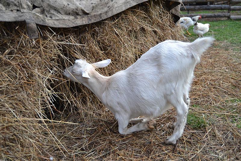 Распространенные проблемы у коз