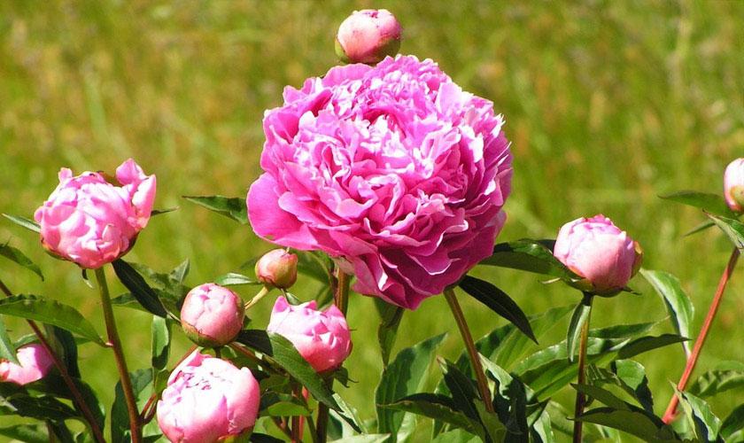 Пионы зимой - как перезимовать цветам