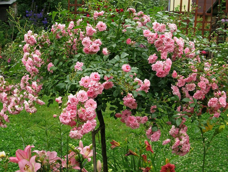 Штамповые розы - укрываем на зиму правильно