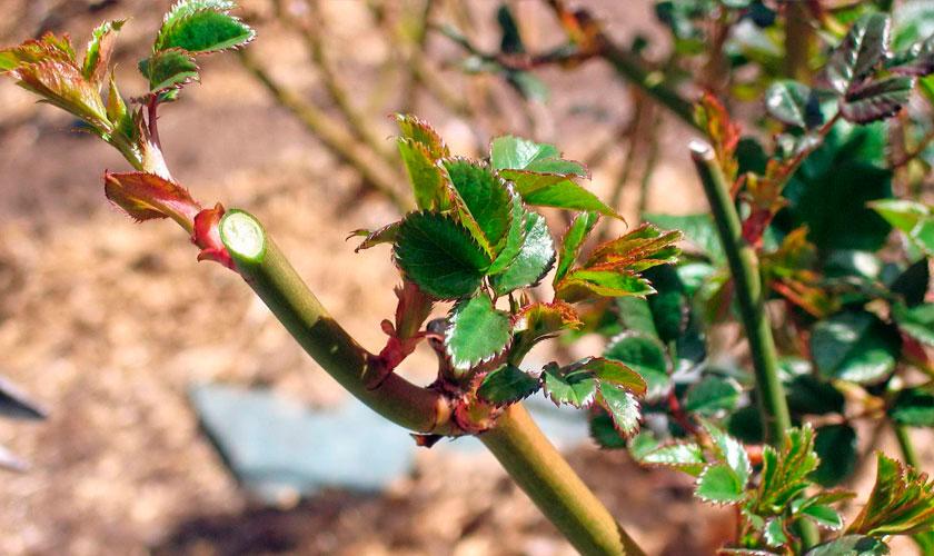 Прищипка базальных побегов роз