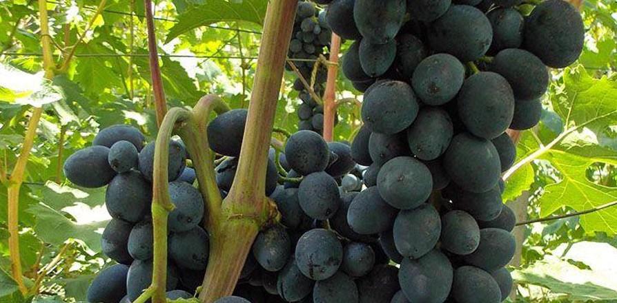 Виноград черная Вишня – история появления и уход