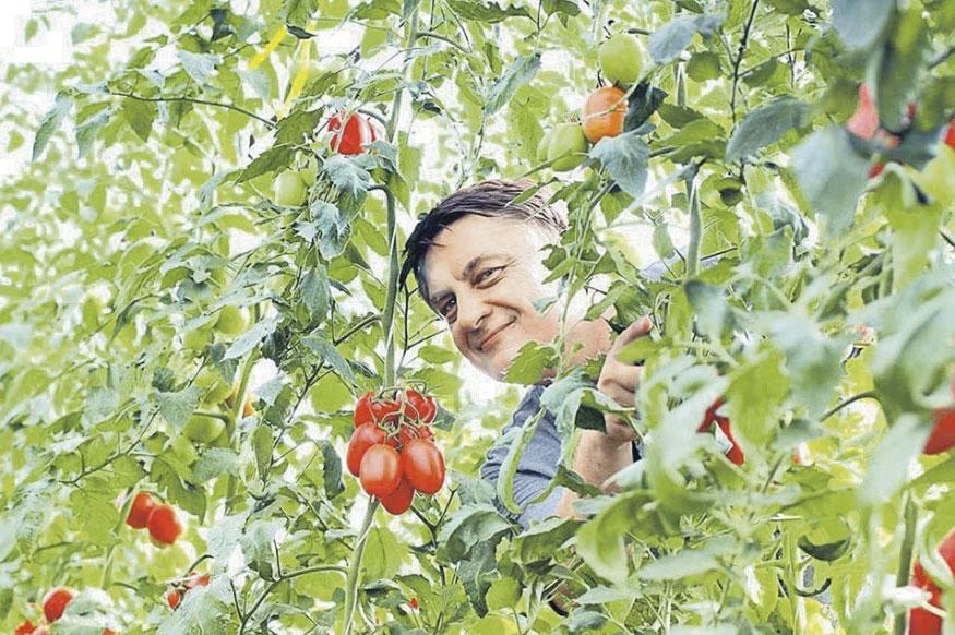 Как вырастить мясистые и вкусные помидоры