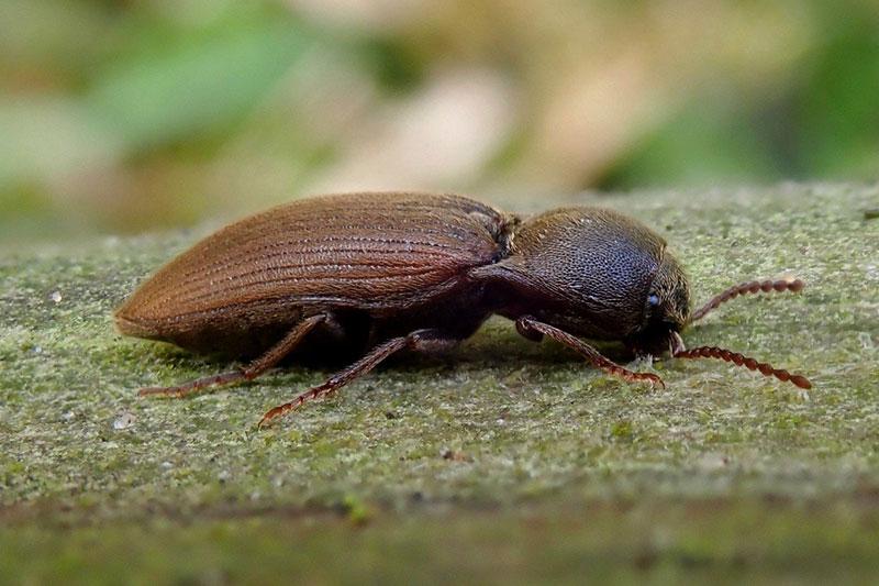 жук-щелкун