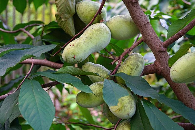 Банановое дерево паупау (азимина)