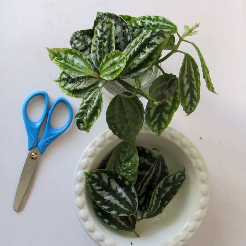Пилею Кадье выращивают из черенков, используя верхушки здоровых побегов