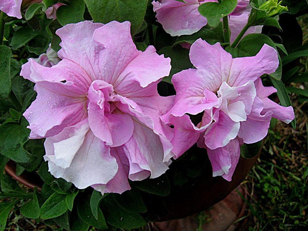 Петуния (Petunia), сорт «Дабл Каскад Орхид Мист»