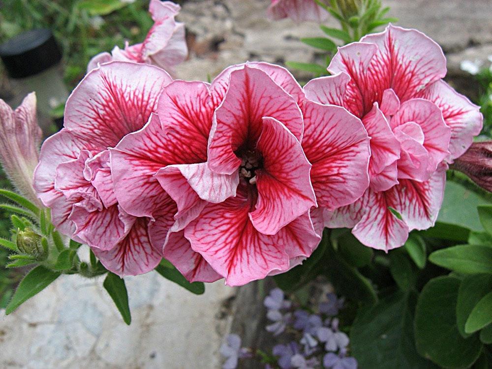 Петуния (Petunia), сорт «Дуо Саммер» (Duo 'Summer'