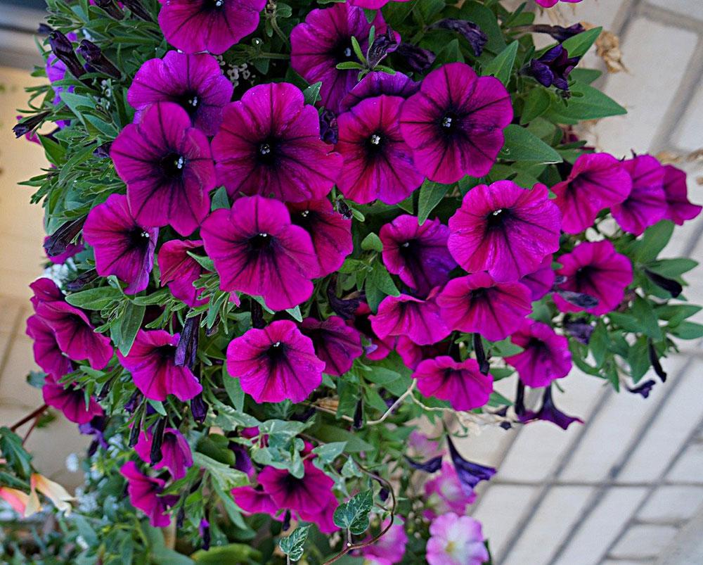 Петуния (Petunia), сорт «Шок Вейв Дип Перпл»