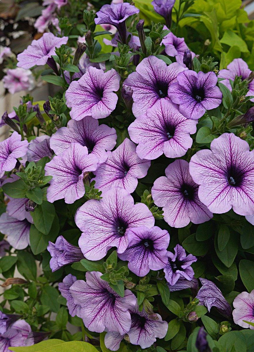 Петуния (Petunia), сорт «Изи Вейв Сильвер»