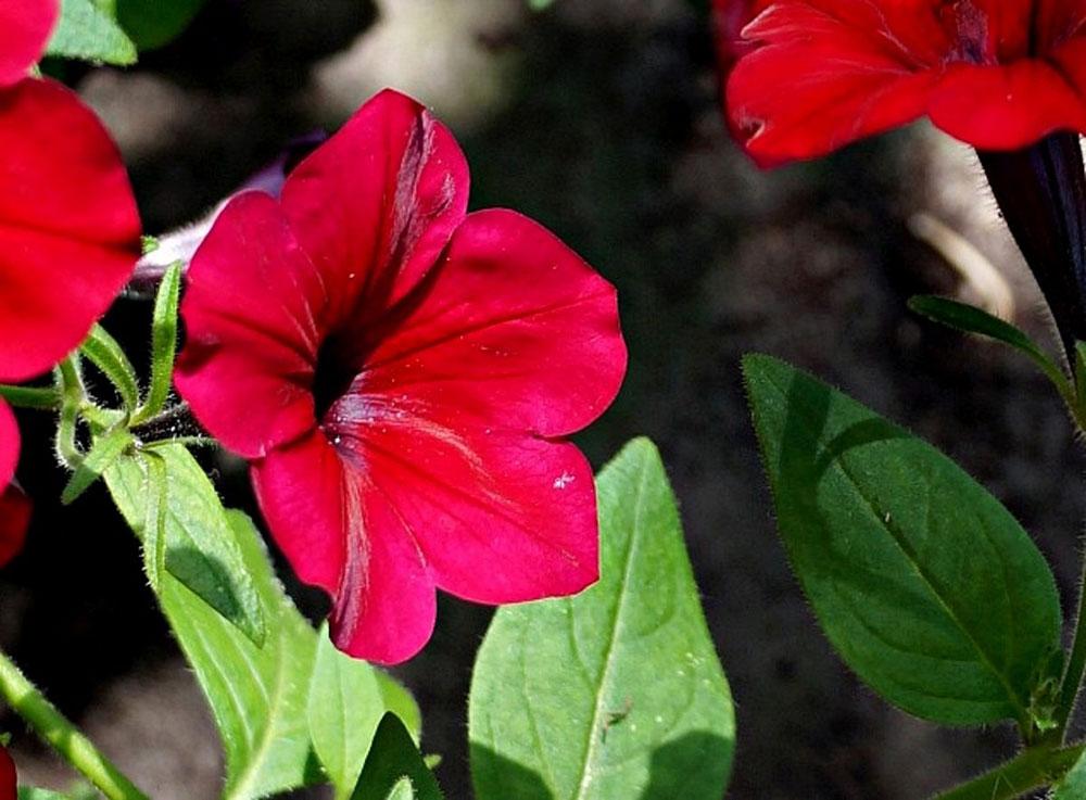 Петуния (Petunia), сорт «Изи Вейв Ред Велюр»