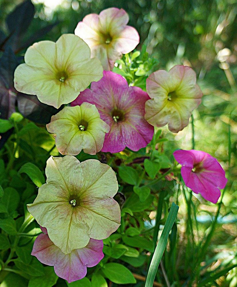 Петуния (Petunia), сорт «Дебонэйр Дасти Роуз»