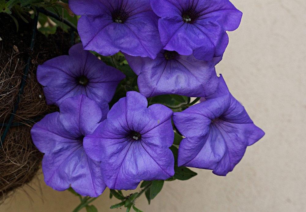 Петуния (Petunia), сорт «Ивнинг Сенсейшен»