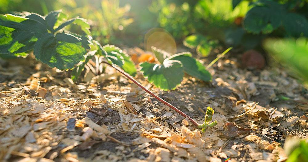 Почва, мульчированная опилками