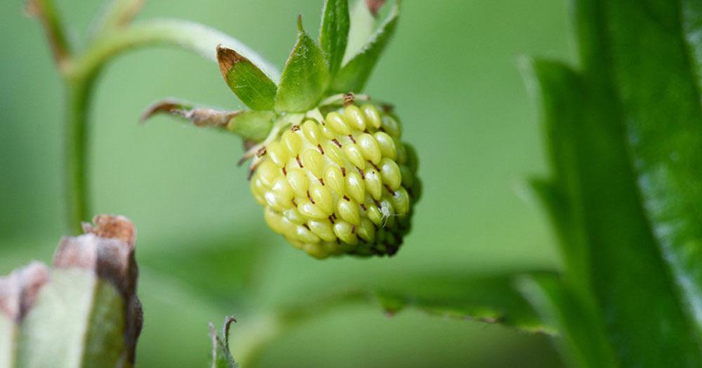Созревающий плод клубники