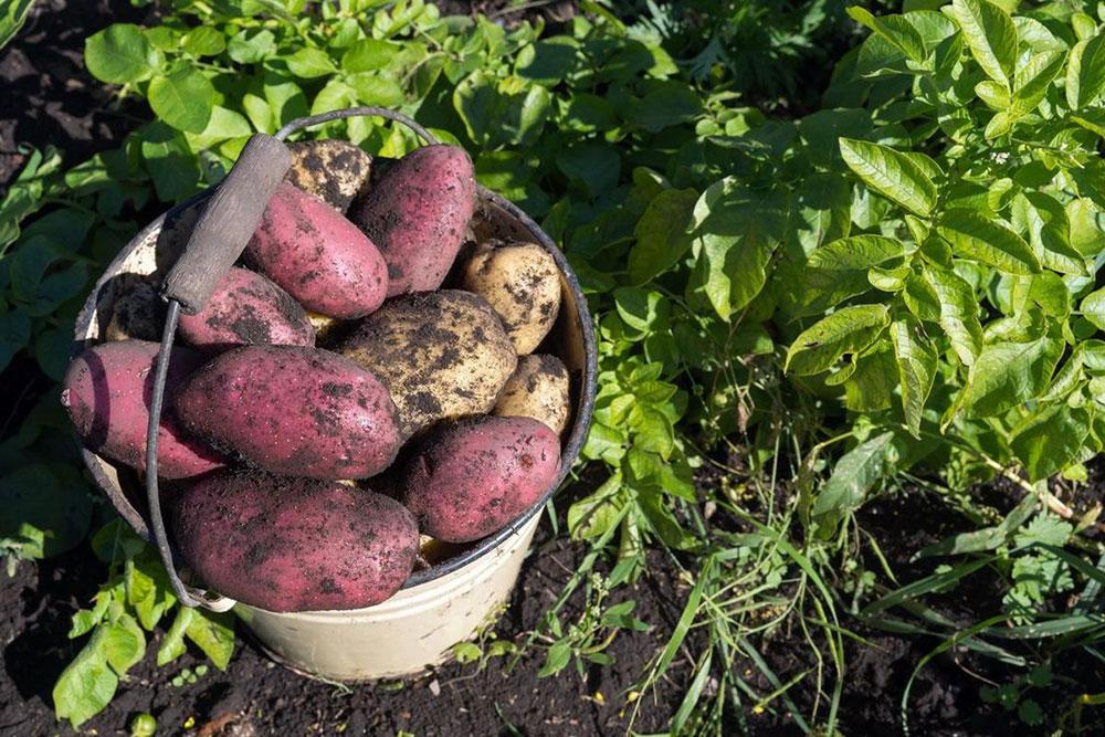 Какой сорт картофеля самый урожайный