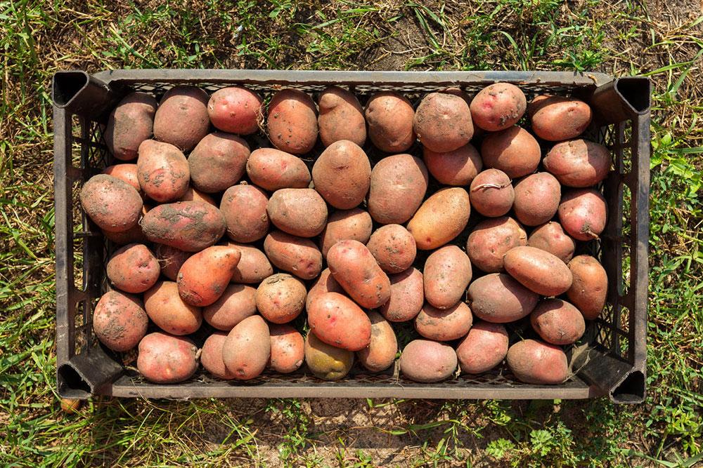 Убирать картофель лучше в сухую солнечную погоду