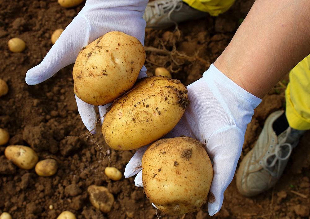 У картофеля сорта 'Колетте' удлиненно-овальные клубни с желтой кожурой