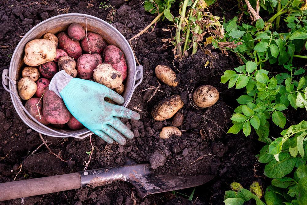 Если посадить картофель в первых числах мая, урожай можно собирать в конце лета — начале осени