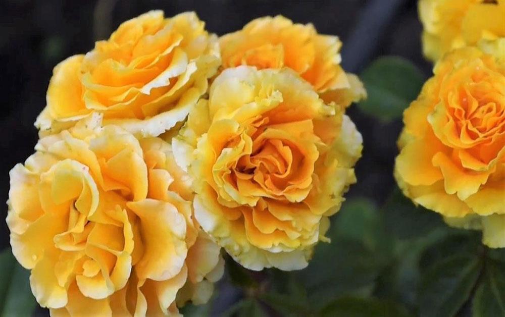 Выносливые сибирские желтые розы