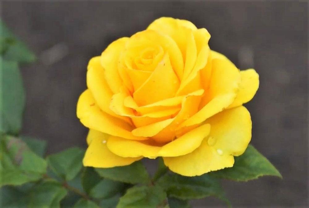 Цветок розы Таро