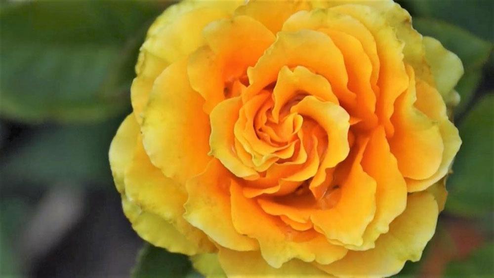 Цветок розы Дива