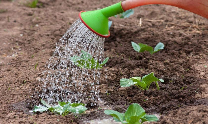 Как ухаживать за рассадой после высадки в грунт