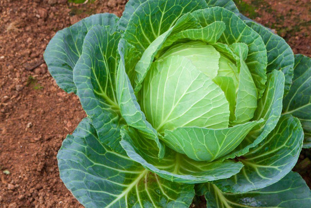 Основные правила выращивания капусты