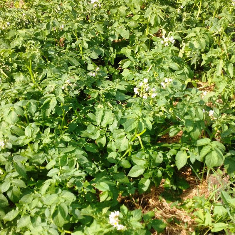 Картошка в траве