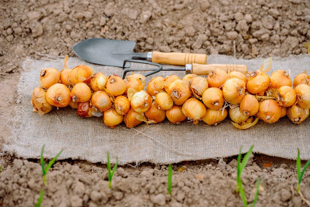 Посадка репчатого лука весной - правила для богатого урожая