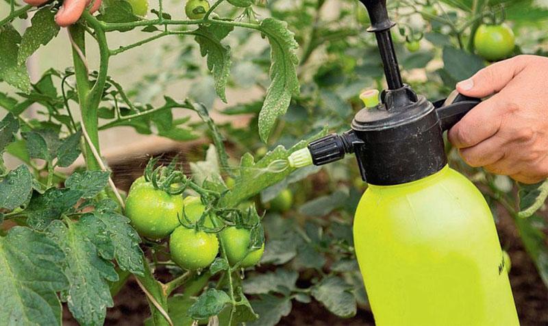 Чем обработать томаты от фитофторы если появились завязи