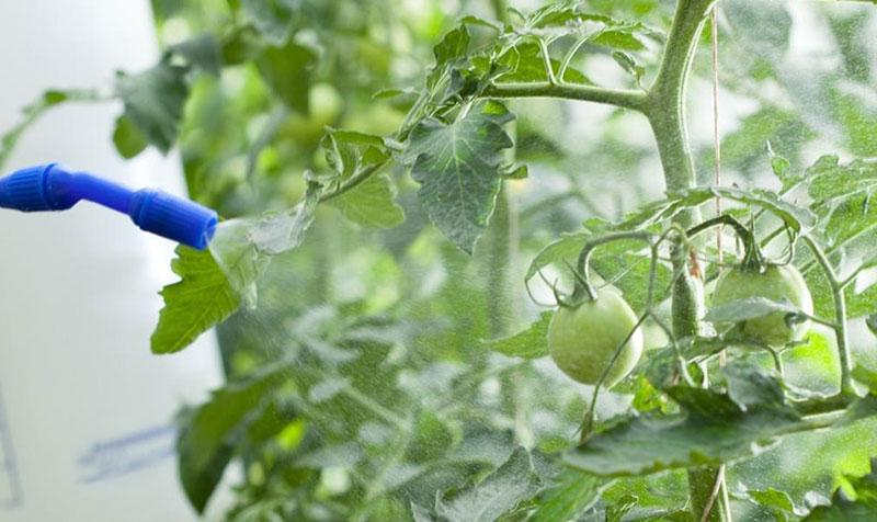 обработка томатов от фитофтороза