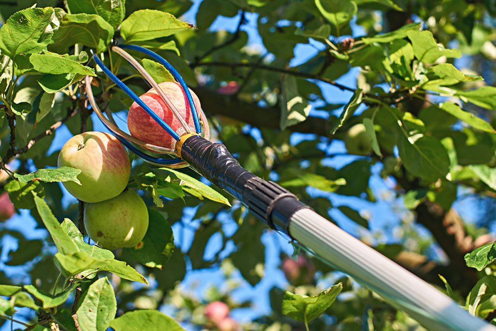 как снять яблоки
