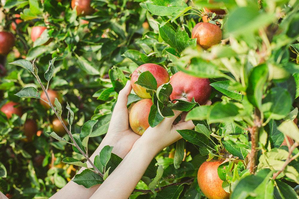 Когда снимать яблоки