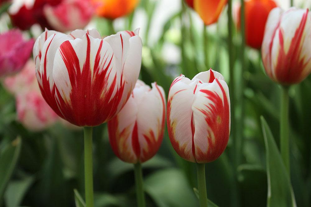 Редкие и красивые сорта тюльпанов