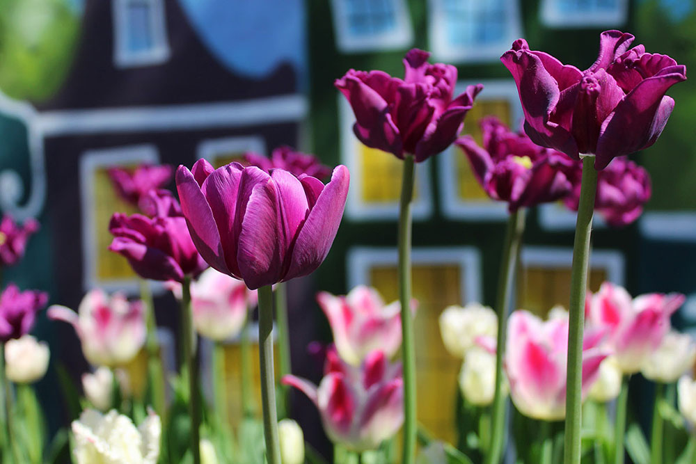 Тюльпаны всегда поражают яркостью красок